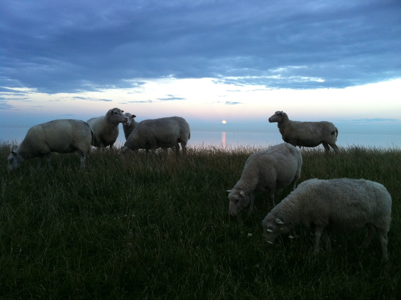 Sheep on Texel island
