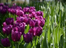 Book tickets to Keukenhof