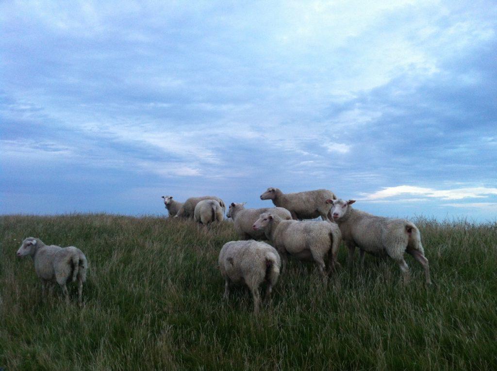 Texel island sheep